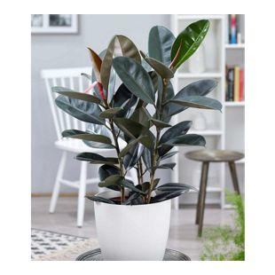 "Gummibaum ""Abidjan"" ca. 70 cm hoch,1 Pflanze"