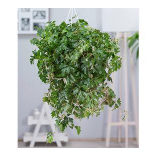 Hängepflanze Cissus,1 Pflanze