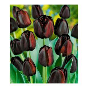Tulpen 'Königin der Nacht',  10 Zwiebeln