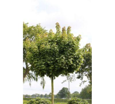 Dominik Gartenparadies Hausbaum Kugel Ahorn Acer Globosum