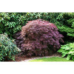 Dominik Gartenparadies Roter Fächerahorn, feinblättrig, 1 Pflanze