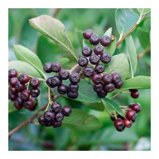 Dominik Gartenparadies Apfelbeere, Strauch, 1 Pflanze