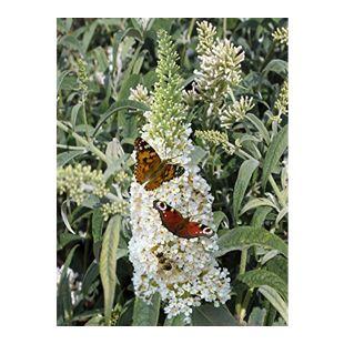 Dominik Gartenparadies Sommerflieder White Profusion®, weiß, 1 Pflanze