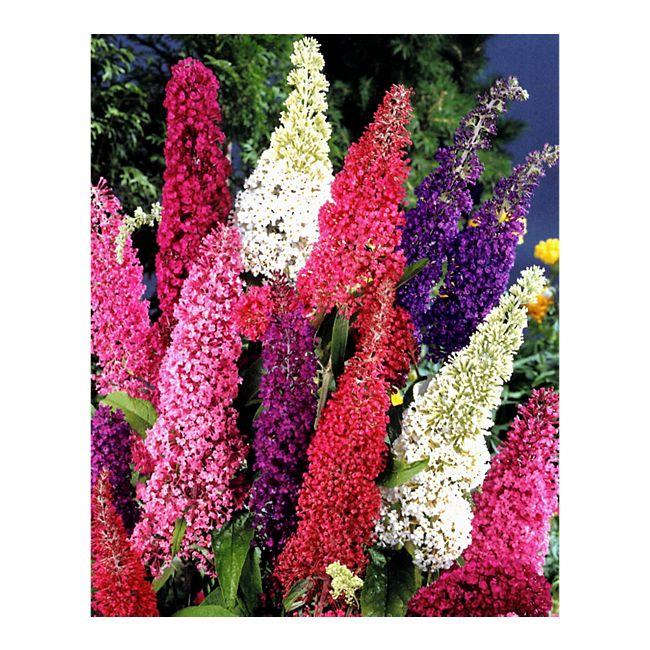 dominik gartenparadies sommerflieder pink delight 1 pflanze online kaufen. Black Bedroom Furniture Sets. Home Design Ideas