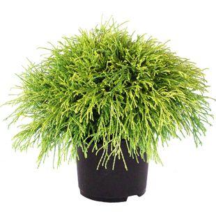 Dominik Gartenparadies Gelbe Fadenzypresse, ca.20-25cm hoch, 1 Pflanze