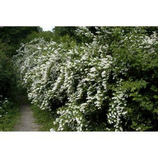 Dominik Gartenparadies Maiblumenstrauch (Deutzia) in XXL, 1 Pflanze