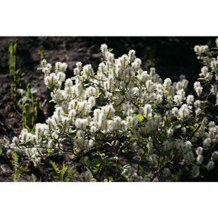 Dominik Gartenparadies Großer Federbusch-Strauch, 1 Pflanze