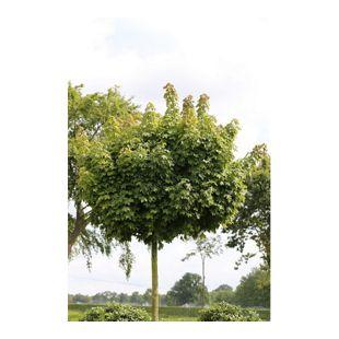 Dominik Gartenparadies Hausbaum Kugel-Ahorn, Acer Globosum, Lieferhöhe: 150-180cm, 15 Liter Container, inkl. Pflanzstab und Sisal-Band