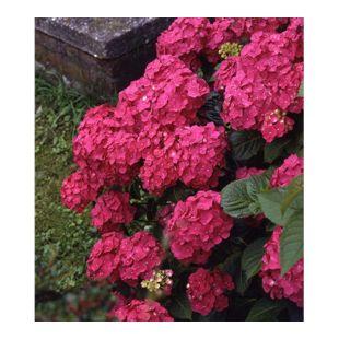 Dominik Gartenparadies Hortensie, Strauch, rot, 1 Stück