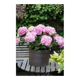 Dominik Gartenparadies Gartenhortensie, rosa, 1 Stück