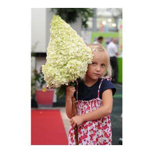Dominik Gartenparadies Hortensie Hydrangea Moonlight®, 1 Stück