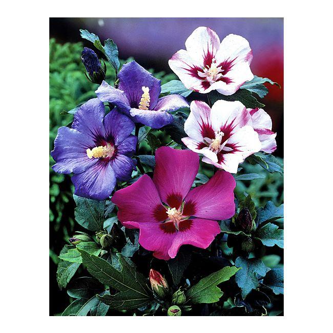 dominik gartenparadies roseneibisch hibiskus blau strauch 1st ck online kaufen. Black Bedroom Furniture Sets. Home Design Ideas