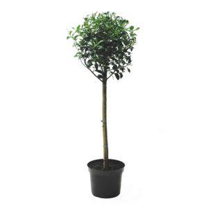 """Dominik Gartenparadies Stechpalme Ilex aquifolium """"Alaska"""" - Stämmchen, C3, 50cm Stammlänge, 2 jährig, 1 Pflanze"""