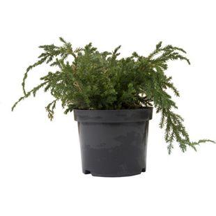 Dominik Gartenparadies Bodenwacholder Blue Carpet, Juniperus squamata, 20 - 30, C2 1 Pflanze
