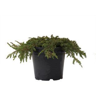 Dominik Gartenparadies Teppichwacholder Green Carpet, Juniperus communis, 20-30, C2, 1 Pflanze