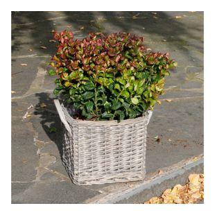 Dominik Gartenparadies Traubenheide (Leucothoe axcillaris) Curly Red, 1 Stück