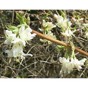 Dominik Gartenparadies Wohlriechende Heckenkirsche Geißblatt, 1 Strauch