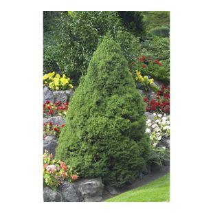 Dominik Gartenparadies Zuckerhutfichte, 30-40 cm hoch, 1 Pflanze