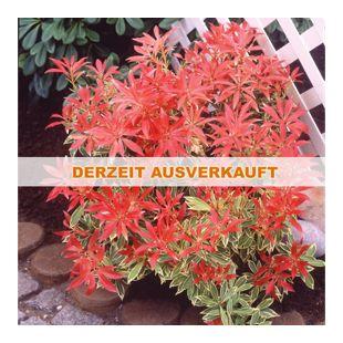 """Dominik Gartenparadies Japanische Lavendelheide """"Feuertanz"""",  1 Stück"""