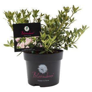 """Dominik Gartenparadies Rhododendron micranthum """"Bloombux"""" ®, Buchsbaumalternative, 2ltr. Topf, ca. 20-25 cm hoch, 1 Pflanze"""