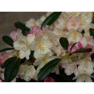 Dominik Gartenparadies Rhododendron, 2 Liter, weiß/cremeweiß, 1 Pflanze