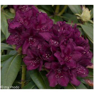 Dominik Gartenparadies Rhododendron, 2 Liter, violett, 1 Pflanze