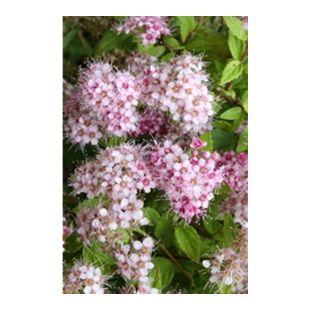 Dominik Gartenparadies Schneebeere Mother of Pearl®, trägt rosafarbene Beeren,  1 Strauch