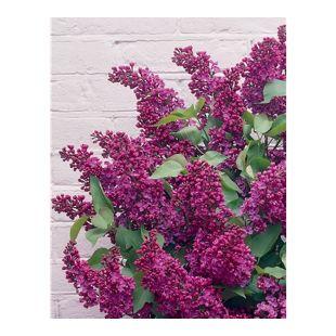 Dominik Gartenparadies Flieder, lila blühend, 1 Pflanze