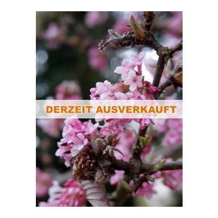 Dominik Gartenparadies 1 Strauch Duft-Winterschneeball, rosa blühend