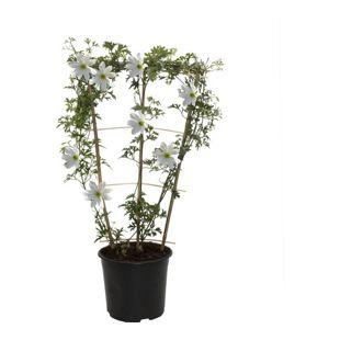 Dominik Gartenparadies Klematis Early Sensation, frühe Blüte ab Ende Februar bis April, weiß, 1 Stück am Spalier