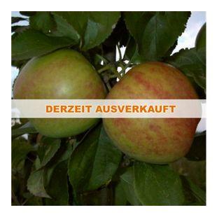 Dominik Gartenparadies Apfel Gravensteiner  Busch  1 Stück