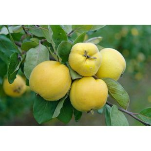 Dominik Gartenparadies Quitte, Konstantinopeler  Apfelquitte, 1 Busch