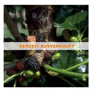 Dominik Gartenparadies Schwarze Maulbeere, Morus nigra; Strauch, 1 Pflanze
