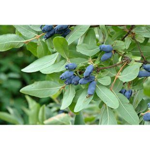 Dominik Gartenparadies Lonicera kamtschatika, Honigbeere, 1,5 Liter Topf, 1 Pflanze