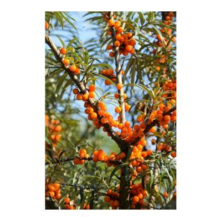 Dominik Gartenparadies Sanddorn Busch, 1 Stück