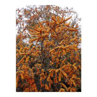 """Dominik Gartenparadies Sanddorn """"Leikora"""" Busch ,  weiblich, 1 Pflanze"""