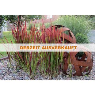 "Dominik Gartenparadies Blutgras Imperata ""Red Baron"" XXL, 1 Pflanze"