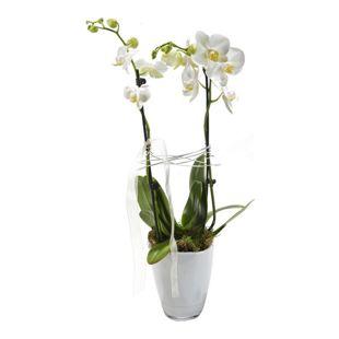 Dominik Gartenparadies Orchidee, (Phalenopsis), weiß, 2triebig, 1 Stück
