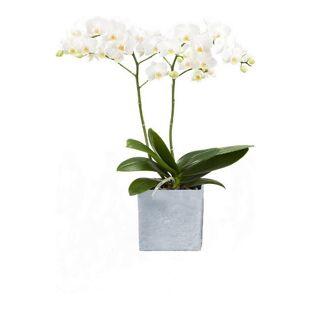 Dominik Gartenparadies Orchidee (Phalaenopsis) weiß blühend, 2 triebig  1 Pflanze + 1 Scheurich Übertopf grau stone