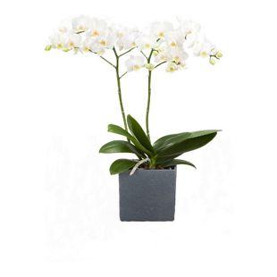 Dominik Gartenparadies Orchidee (Phalaenopsis) weiß blühend, 2 triebig  1 Pflanze + 1 Scheurich Übertopf anthrazit stone