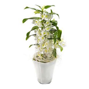 Dominik Gartenparadies Orchidee nobile, Traubenorchidee weiß  im Dekotopf Quadro