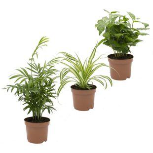Dominik Gartenparadies Indoor-Trio, Kaffe-Pflanze, Grünlilie und Zimmerpalme