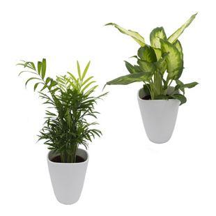Dominik Gartenparadies Fresh-Air-Duo, Zimmerpalme + Dieffenbachia + Dekotopf, weiß