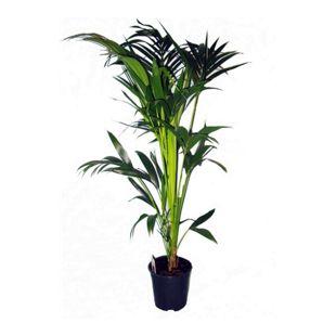 Dominik Gartenparadies Kentia-Palme ca.60-80cm hoch, 1 Pflanze