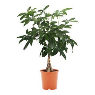 Dominik Gartenparadies Glückskastanie, ca. 60-80 cm hoch, 1 Pflanze