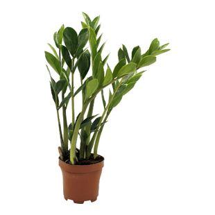 Dominik Gartenparadies Zamioculcas, 1 Pflanze