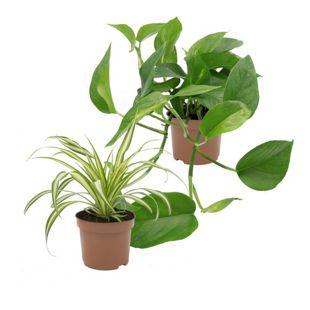 Dominik Gartenparadies Rankpflanzen-Set, Grünlilie + Efeutute