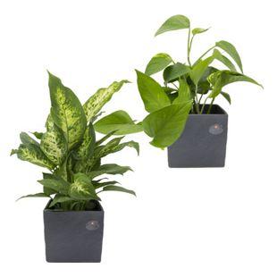 Dominik Gartenparadies Regenwald Zimmerpflanzen Duo, im Scheurich Würfeltopf anthrazit-stone, 14x14cm, 2 Pflanzen + 2 Umtöpfe