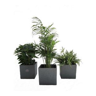 Dominik Gartenparadies Luftrein Zimmerpflanzen Mix im Scheurich Würfelumtopf anthrazit-stone, 14 x 14 cm, 3 Pflanzen +3 Umtöpfe
