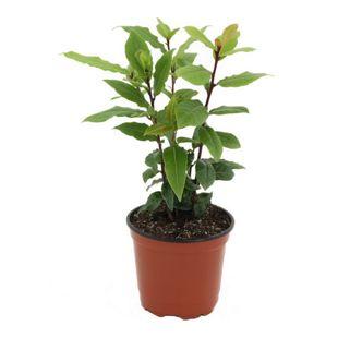 Dominik Gartenparadies Gewürzlorbeer, 1 Pflanze